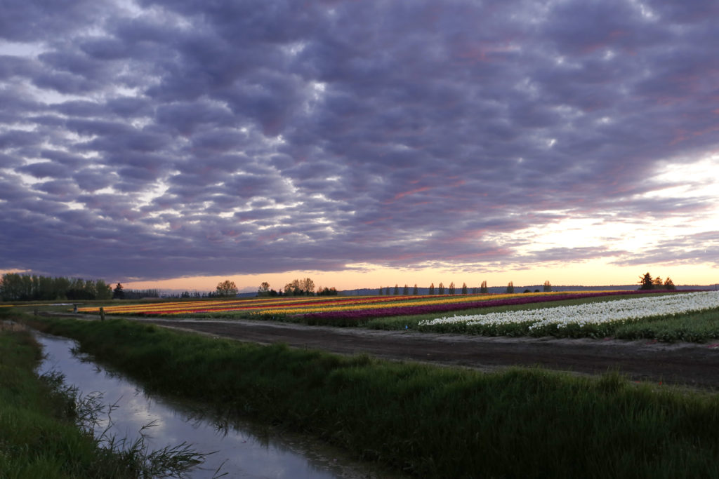 Hackler creative tulip fields at sunset